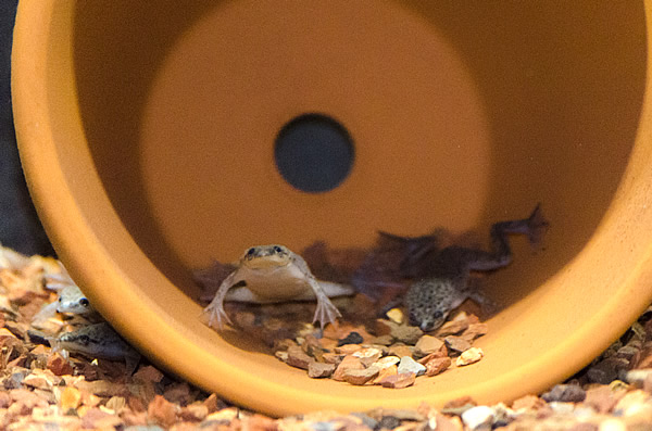 Several African dwarf frogs in and around a clay flower pot waiting to be fed