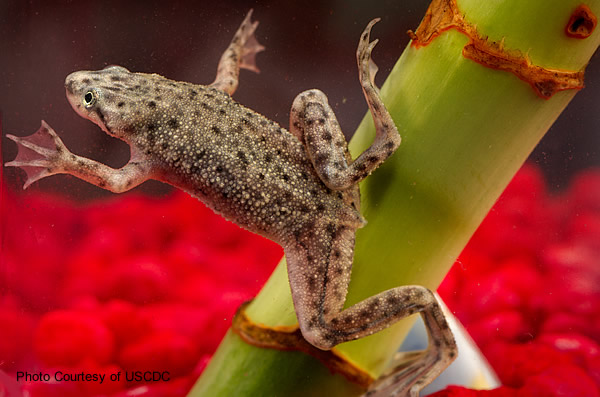 An African dwarf frog in an aquarium swimming past the stem of a plant